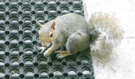 The FrequencyCast Squirrel